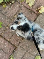 Australian Shepherd Puppies for sale in Waukesha, WI, USA. price: NA