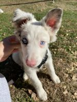 Australian Shepherd Puppies for sale in Fort Leonard Wood, MO, USA. price: NA