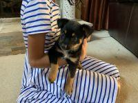 Australian Shepherd Puppies for sale in Atlanta, GA, USA. price: NA