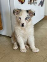 Australian Shepherd Puppies for sale in Des Moines, IA, USA. price: NA
