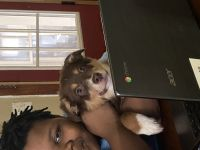 Australian Shepherd Puppies for sale in 3166 N 39th St, Milwaukee, WI 53216, USA. price: NA