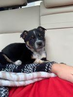 Australian Shepherd Puppies for sale in Lubbock, TX, USA. price: NA