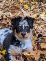 Australian Shepherd Puppies for sale in Rochester, NY, USA. price: NA