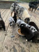 Australian Shepherd Puppies for sale in Des Plaines, IL 60018, USA. price: NA