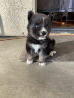 Australian Shepherd Puppies for sale in Santa Clarita, CA, USA. price: NA