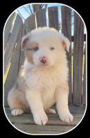 Australian Shepherd Puppies for sale in Gamaliel, KY 42140, USA. price: NA