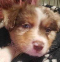 Australian Shepherd Puppies for sale in 97064 Castle Ridge Dr, Yulee, FL 32097, USA. price: NA