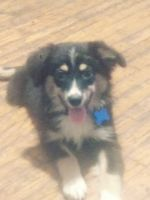 Australian Shepherd Puppies for sale in St. Louis, MO, USA. price: NA