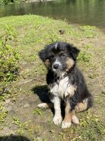 Australian Shepherd Puppies for sale in Fargo, ND 58103, USA. price: NA