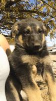 Australian Shepherd Puppies for sale in 17294 Redmaple St, Fontana, CA 92337, USA. price: NA