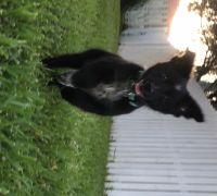 Australian Shepherd Puppies for sale in Panama City, FL, USA. price: NA