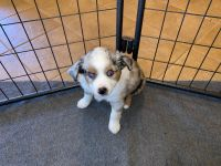 Australian Shepherd Puppies for sale in Brookville, OH 45309, USA. price: NA