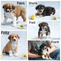 Australian Shepherd Puppies for sale in Clare, MI 48617, USA. price: NA