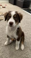 Australian Shepherd Puppies for sale in Henderson, NV, USA. price: NA