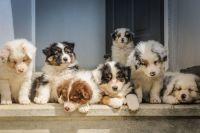 Australian Shepherd Puppies for sale in Philadelphia, PA, USA. price: NA