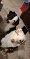 Australian Shepherd Puppies for sale in Wimauma, FL 33598, USA. price: NA