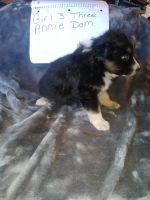 Australian Shepherd Puppies for sale in Tipton, MO 65081, USA. price: NA