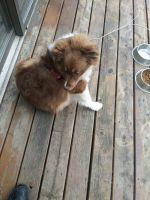 Australian Shepherd Puppies for sale in 7212 Wilshire Blvd, Windsor Heights, IA 50324, USA. price: NA