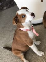 Australian Shepherd Puppies for sale in Austin, TX, USA. price: NA