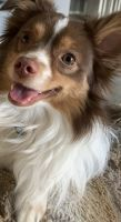 Australian Shepherd Puppies for sale in Naperville, IL, USA. price: NA
