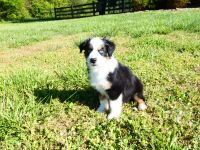 Australian Shepherd Puppies for sale in Westminster, SC 29693, USA. price: NA
