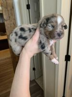 Australian Shepherd Puppies for sale in 3241 Viero Dr, Colorado Springs, CO 80916, USA. price: NA