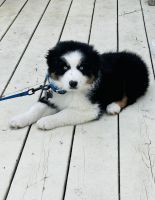 Australian Shepherd Puppies for sale in Absecon, NJ 08201, USA. price: NA