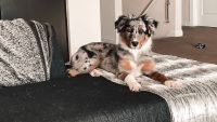 Australian Shepherd Puppies for sale in Grove City, OH 43123, USA. price: NA