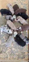Australian Shepherd Puppies for sale in Lakeland, FL, USA. price: NA