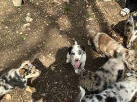 Australian Shepherd Puppies for sale in Springfield, MO, USA. price: NA