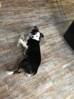 Australian Shepherd Puppies for sale in Blue Mound, IL 62513, USA. price: NA