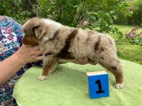 Australian Shepherd Puppies for sale in Waterford, OH 45786, USA. price: NA