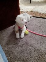 Australian Shepherd Puppies for sale in Des Moines, WA, USA. price: NA