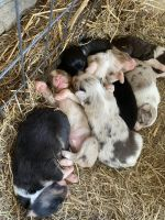 Australian Shepherd Puppies for sale in Shelbyville, TN, USA. price: NA