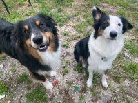 Australian Shepherd Puppies for sale in Miami, FL, USA. price: NA