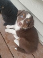 Australian Shepherd Puppies for sale in Lake Winola, PA 18414, USA. price: NA