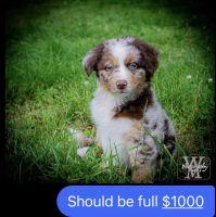 Australian Shepherd Puppies for sale in Mt. Juliet, TN, USA. price: NA