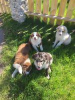 Australian Shepherd Puppies for sale in Pullman, MI 49450, USA. price: NA
