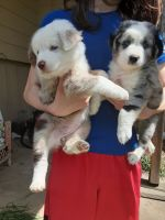 Australian Shepherd Puppies for sale in Welch, MN 55089, USA. price: NA