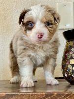 Australian Shepherd Puppies for sale in El Paso, TX, USA. price: NA
