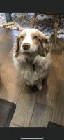 Australian Shepherd Puppies for sale in Clovis, CA, USA. price: NA