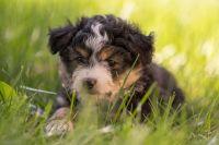 Australian Shepherd Puppies for sale in Napa, CA, USA. price: NA