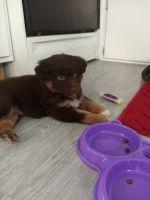 Australian Shepherd Puppies for sale in Moline, IL, USA. price: NA
