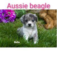 Australian Shepherd Puppies for sale in Clare, MI 48617, USA. price: NA