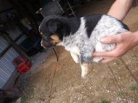 Australian Shepherd Puppies for sale in Pawnee City, NE 68420, USA. price: NA