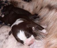 Australian Shepherd Puppies for sale in Morristown, TN, USA. price: NA