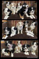 Australian Shepherd Puppies for sale in Brenham, TX 77833, USA. price: NA