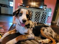 Australian Shepherd Puppies for sale in Erie, PA 16505, USA. price: NA