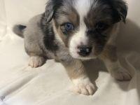 Australian Shepherd Puppies for sale in Tyler, TX, USA. price: NA