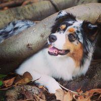 Australian Shepherd Puppies for sale in Metairie, LA 70001, USA. price: NA